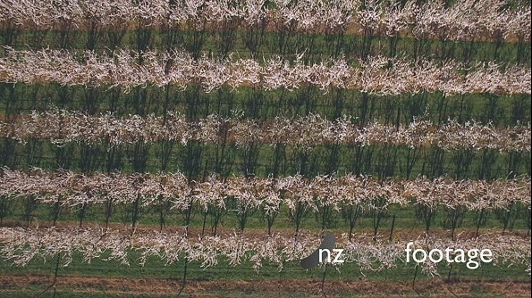 Orchard Aerial of plum trees in Bloom HD 20220
