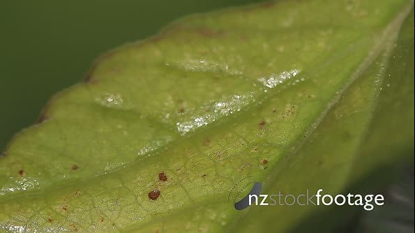 Macro Of Ants And Vine Lice On Leafs 21460