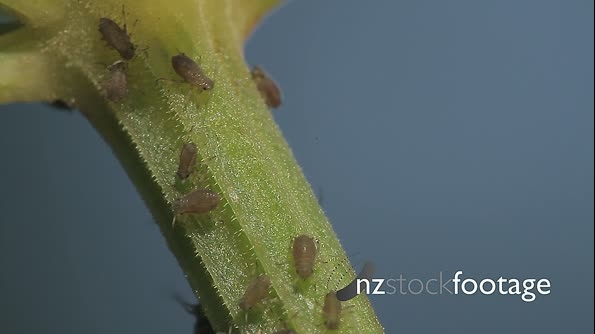 Macro Of Ants And Vine Lice On Leafs 21466