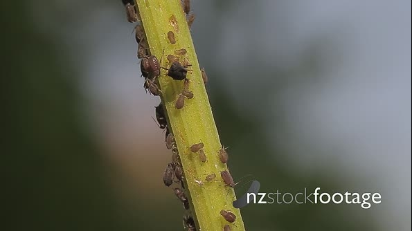 Macro Of Ants And Vine Lice On Leafs 21469
