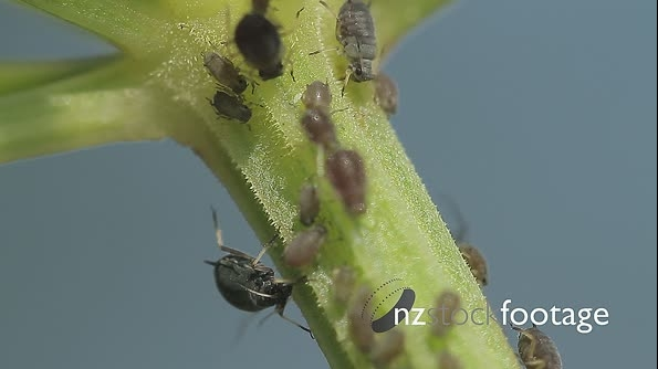 Macro Of Ants And Vine Lice On Leafs 21471