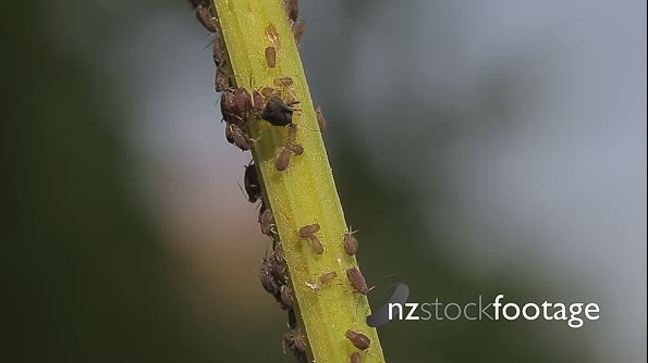 Macro Of Ants And Vine Lice On Leafs 21472