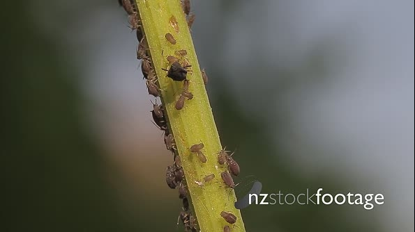 Macro Of Ants And Vine Lice On Leafs 21473