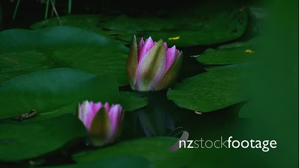 Time lapse of two water lilies while opening 22419