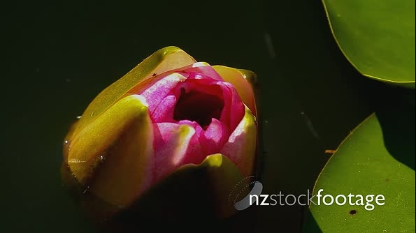 Time lapse of a water lilies while opening 22420