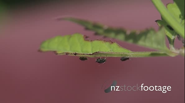 Macro Of Ants And Vine Lice On Leafs 22663