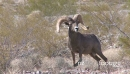 Big Horn Sheep Ram (6 of 7) 23585