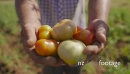 15-Man Farmer Showing Red And Green Tomatoes To Camera 23712