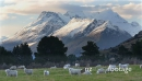 Mt Earnslaw Sheep Glenorchy 1 24587
