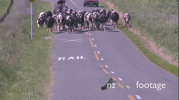 Cows Herded down Rural Road 24800
