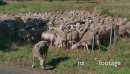 Farm Animals Grazing In Ranch Flock Of Sheep Eating Grass 25641