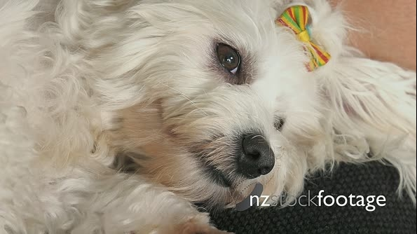 16-Woman Pet Owner Cleaning Ear To Small White Dog 25666
