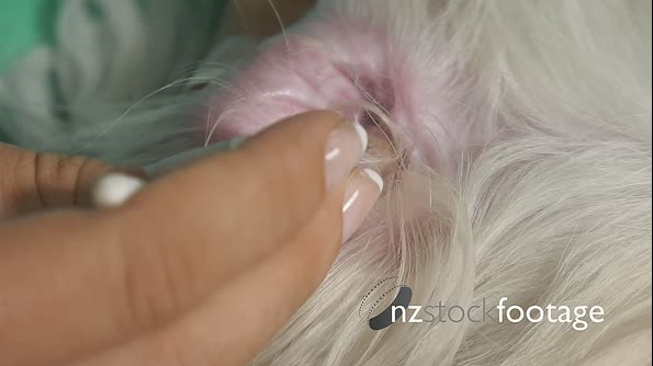 19-Woman Pet Owner Cleaning Ear To Dog With Cotton Wool 25671