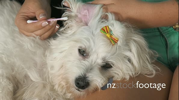 20-Woman Pet Owner Cleaning Ear To Dog With Cotton Wool 25672