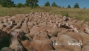 Flock Of Sheep Eating Grass Farm Animals Grazing In Ranch 25733