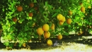 Orange Trees bearing Full Grown Fruits 2 26203