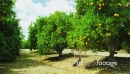 Orange Trees bearing Full Grown Fruits 26256