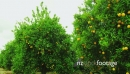 Orange Trees bearing Full Grown Fruits 26276