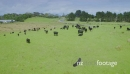 Aerial of cows on grazing farmland in Northland new Zealand 26830