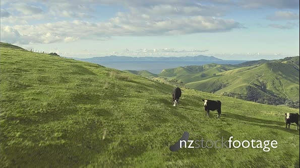 Aerial of farm land and cattle in the Coromandel, New Zealand 27113