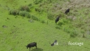 Aerial of cows on grazing farmland in Northland- Maitai Bay 27181