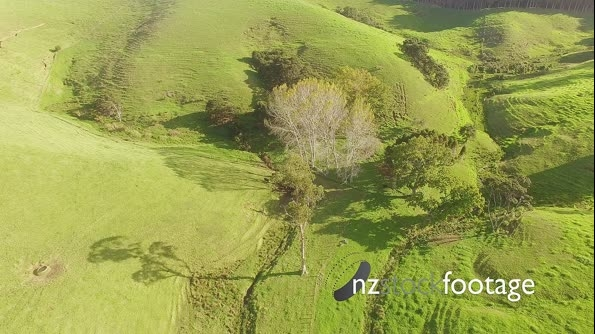 Aerial of cows grazing on grass in farm, coromandel Peninsula, New Zealand 27183