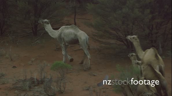 Camels in Outback Australia 3 0505IX 27688