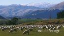 Sheep in Grazing with Mountains Queenstown 1  27762