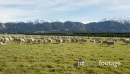 New Zealand High Country Sheep 27839