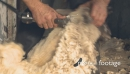 Shearing Sheep Head New Zealand 1 2812