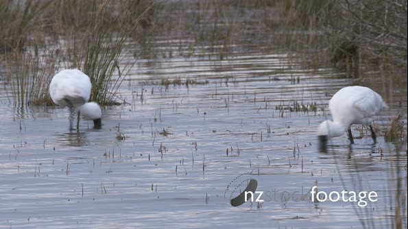 Royal Spoonbills searching in an estuary for food 28189