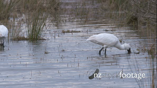 Royal Spoonbills slow motion  28190