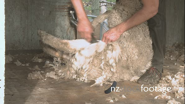 Shearing Sheep Leg New Zealand 2830