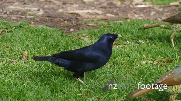 Satin Bowerbird, male feeding 28615