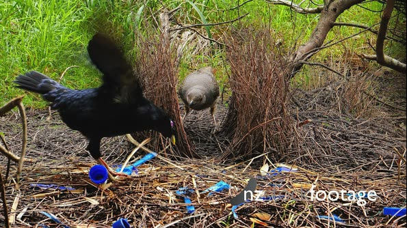 Satin Bowerbird displays while female inspects bower 28617