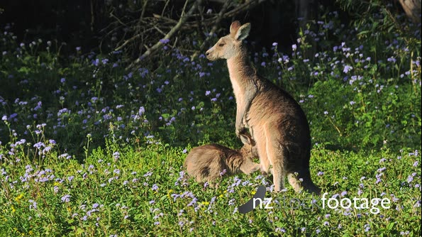 Easter Grey Kangaroo, joy suckling.  mother feeding in a field with flowers  28626