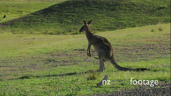 Easter Grey Kangaroo, different actions and displays  B shot 1/2 28637