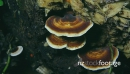 Wood Ear Fungus 02 three 28696