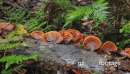 Wood Ear Fungus 06 orange group zoom 28699