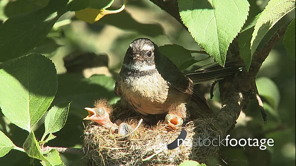 Fantail Bird with Chicks 1 2870