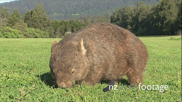 Wombat Common grazing 8 ground level,  scratches  28801
