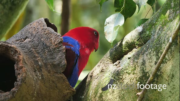 Eclectus Parrot female comes out of nesthole 28887