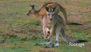 Eastern Grey Kangaroo mother and joy grazing from the pouch 28994