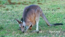 Eastern Grey Kangaroo mother and joy grazing from the pouch  28995