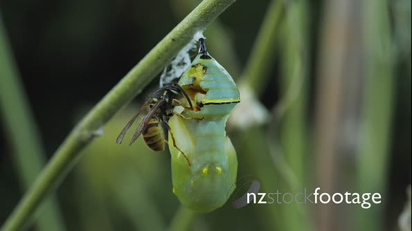 Wasp Attacking Monarch Buttefly Chrysalis 29014