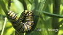 2 Monarch Caterpillars Eating and Wrestling 1 29016