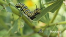Monarch Caterpillar Eating Swan Plant 1 29017