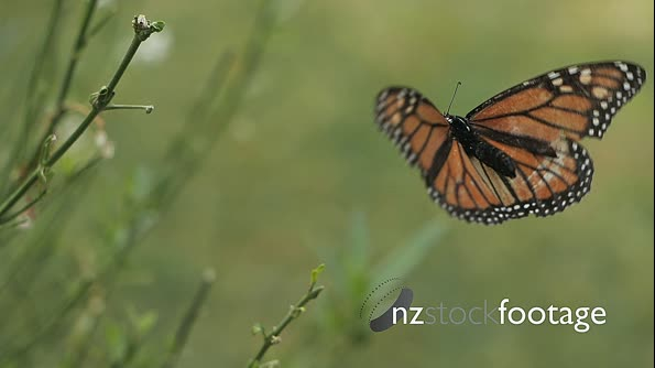 Monarch Butterfly Slow Motion 2 29027