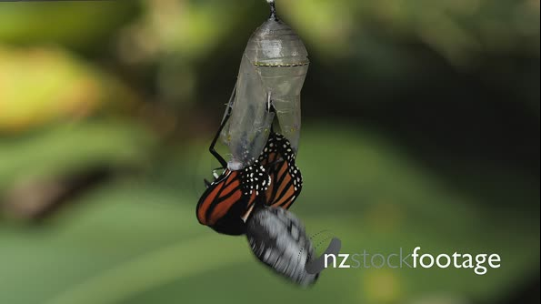 Monarch Butterfly Emerging From Chrysalis TL 29030