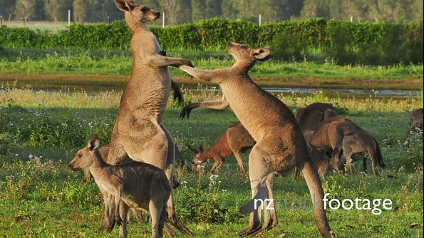 Eastern Grey Kangaroo boxing 1 29078